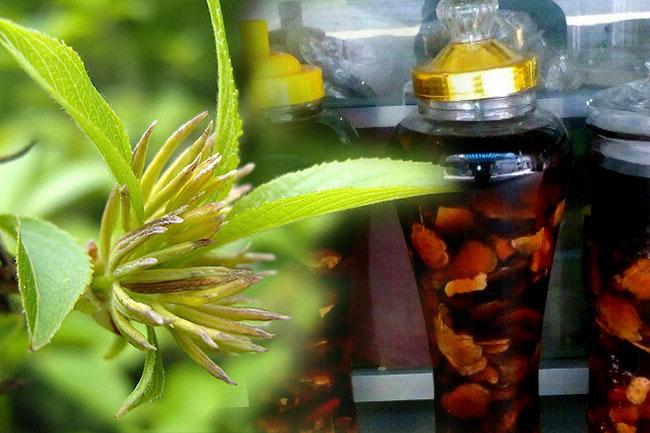 Tổng hợp các cách ngâm rượu cây Đỗ Trọng